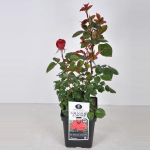 Grootbloemige roos (rosa Grande Amore®) - C5 - 1 stuks