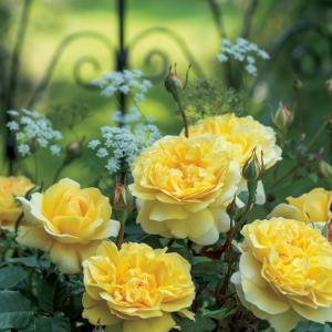 Dagaanbieding - Engelse klimroos (rosa
