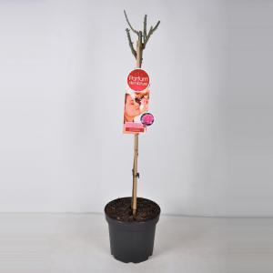 Grootbloemige roos op stam Parfum de Nature (rosa Beverly®) - Op stam 70 cm - 1 stuks