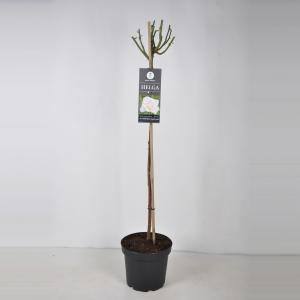 """Grootbloemige roos op stam 90 cm (rosa """"Helga"""")"""
