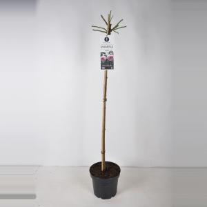 Dagaanbieding - Treurroos op stam 110 cm (rosa