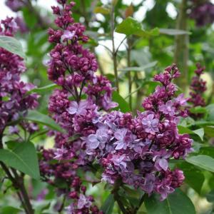 "Sering (syringa vulgaris ""Adelaide Dunbar"")"