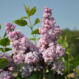 Dagaanbieding - Sering (syringa vulgaris