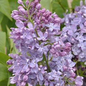 "Sering op stam 85 cm (syringa vulgaris ""Lavender Lady"")"