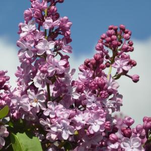 "Sering op stam 85 cm (syringa vulgaris ""Paul Deschanel"")"
