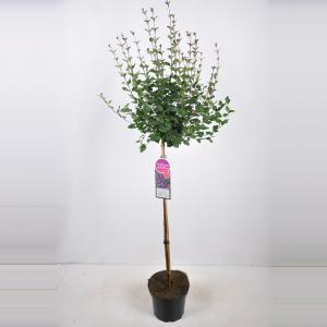 Dwergsering op stam 90 cm (syringa Bloomerang®''Dark Purple'')