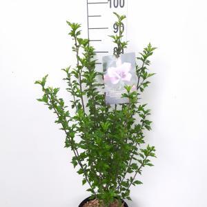 Hibiscus syriacus Leopoldii