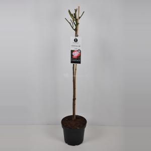 Grootbloemige roos op stam (rosa Nostalgie®) - Op stam 90 cm - 1 stuks