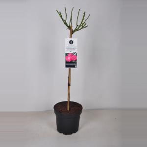 Rozen Palmengarten Frankfurt op stam - 3 stuks