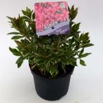 """Rododendron (Rhododendron Japonica """"Silver Sword"""") heester"""
