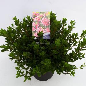Rododendron (Rhododendron Japonica Geisha Pink) heester - 30-35 cm - 1 stuks