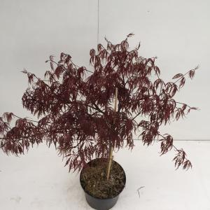 "Japanse esdoorn (Acer palmatum ""Inaba Shidare"") heester"