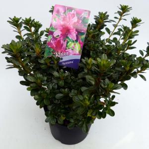 Korting Rododendron (Rhododendron Japonica Kermesina ) heester 30 35 cm 1 stuks