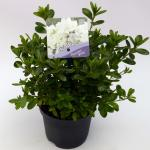 """Rododendron (Rhododendron Japonica """"Pleasant White"""") heester"""