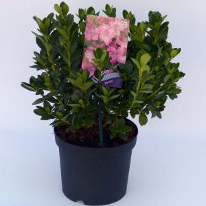 """Rododendron (Rhododendron Japonica """"Kirstin"""") heester"""