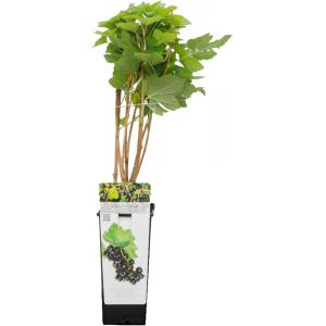 "Zwarte bes (ribes nigrum ""Titania"") fruitplanten"