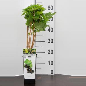 "Zwarte bes (ribes nigrum ""Titania"") fruitplanten - 10 stuks"