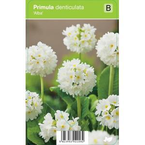 "Bolprimula (primula denticulata ""Alba"") voorjaarsbloeier"