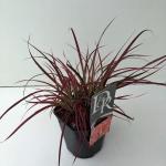 """Lampenpoetsersgras (Pennisetum advena """"Fireworks"""") siergras"""