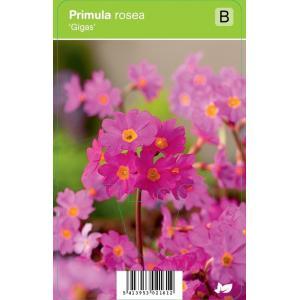 """Sleutelbloem (primula rosea """"Gigas"""") voorjaarsbloeier"""