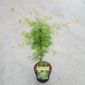 "Japanse esdoorn (Acer palmatum ""Emerald Lace"") heester"