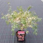 "Japanse esdoorn (Acer palmatum ""Taylor"") heester"