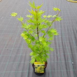 "Japanse esdoorn (Acer shirasawanum ""Jordan"") heester"