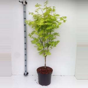 Japanse esdoorn (Acer shirasawanum Jordan) heester - 70+ cm - 5 stuks