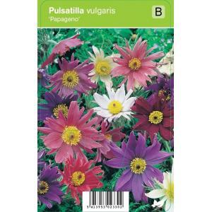 "Wildemanskruid (pulsatilla vulgaris ""Papageno"") voorjaarsbloeier"