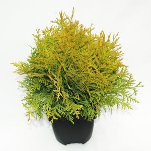 Westerse levensboom (Thuja occidentalis Golden Globe) conifeer