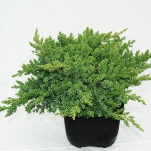 Korting Kruipende jeneverbes (Juniperus procumbens Nana ) conifeer