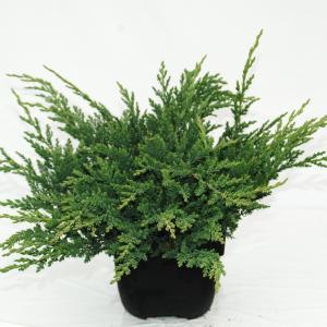 "Kruipende jeneverbes (Juniperus horizontalis ""Prince of Wales"") conifeer"
