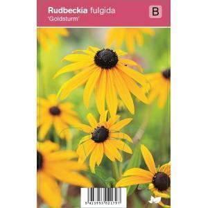 "Zonnehoed (rudbeckia fulgida ""Goldsturm"") najaarsbloeier"