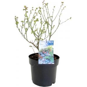"Bosbes (vaccinium corymbosum ""Patio"") fruitplanten"