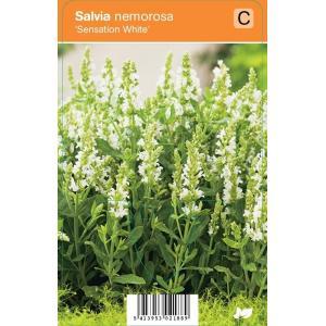 "Salie (salvia nemorosa ""Sensation White"") zomerbloeier"