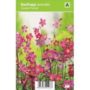 """Mossteenbreek (saxifraga arendsii """"Carpet Purple"""") voorjaarsbloeier"""