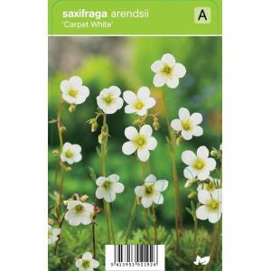 """Mossteenbreek (saxifraga arendsii """"Carpet White"""") voorjaarsbloeier - 12 stuks"""
