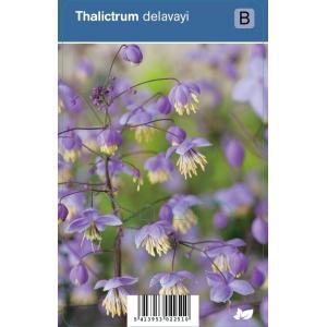 Ruit (thalictrum delavayi) schaduwplant