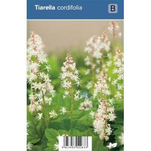 Schuimbloem (tiarella cordifolia) schaduwplant