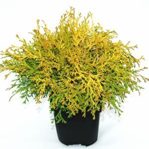 "Schijncipres (Chamaecyparis obtusa ""Kamarachiba"") conifeer"