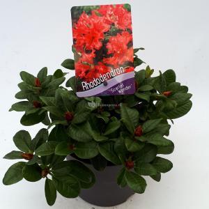 Rododendron (Rhododendron Repens Scarlet Wonder) heester - 20-25 cm - 1 stuks