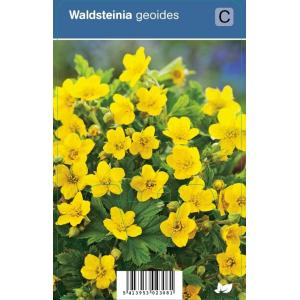 Gele aardbei (waldsteinia geoides) schaduwplant