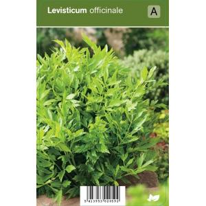 Lavas (levisticum officinale) kruiden
