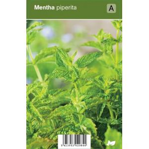 Pepermunt (mentha piperita) kruiden