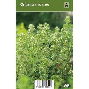 Wilde marjolein (origanum vulgare) kruiden