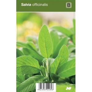 Salie (salvia officinalis) kruiden