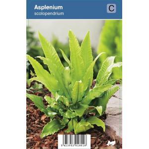 Tongvaren (Asplenium Scolopendrium) schaduwplant