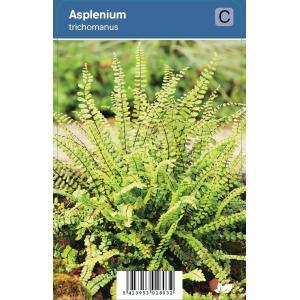 Steenbreekvaren (Asplenium Trichomanes) schaduwplant