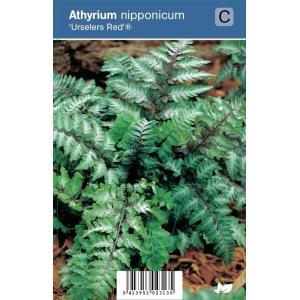 "Japanse regenboog (athyrium nipponicum ""Urselers Red®"") schaduwplant"