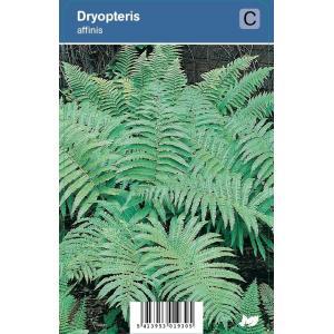 Schildvaren (dryopteris affinis) schaduwplant